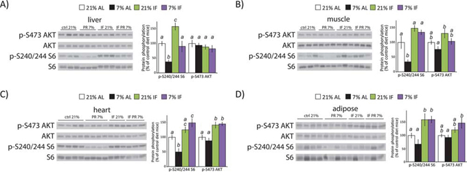 A protein restricted diet inhibits mTORC1 signaling in vivo.