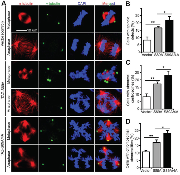 Non-phosphorylatable TAZ induces mitotic defects in MCF10A cells.
