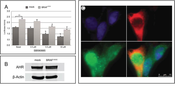 Effect of BRAFV600E on AHR expression/activity in HEK293 cells.