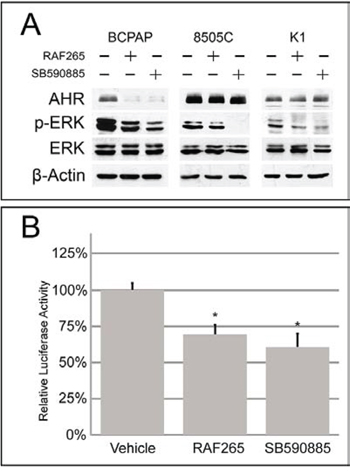 Effect of BRAF inhibitors on AHR expression and activity in thyroid cell lines.