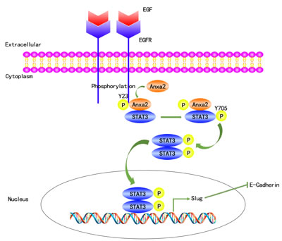 A proposed schematic model: Anxa2 mediates EGF-induced EMT in breast cancer by interacting with STAT3.
