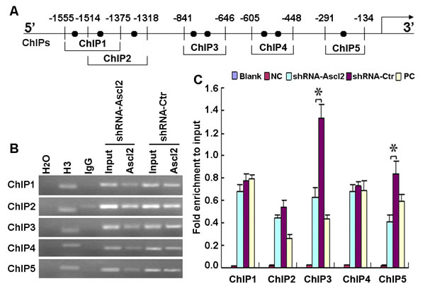 Ascl2 binding to the human CDX2 promoter.