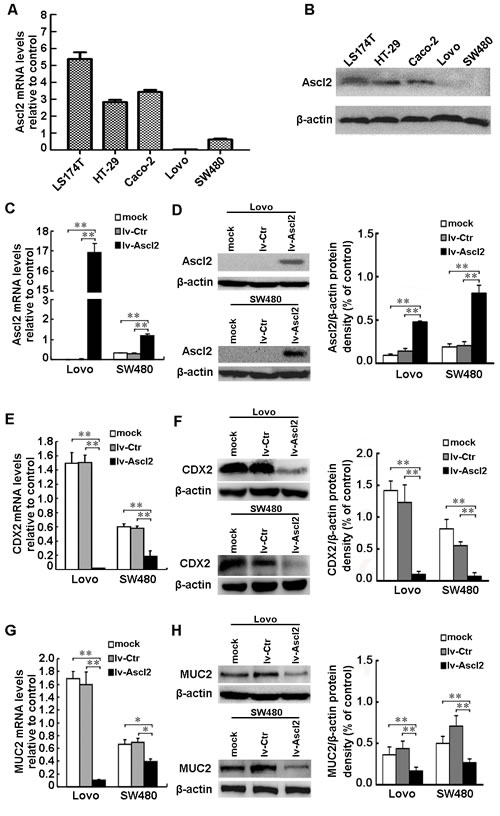 Ascl2 over-expression in CRC cells suppressed CDX2 and MUC2 expression.