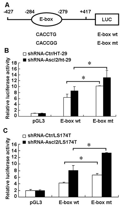 Identification of the cis-element that Ascl2 binds in the CDX2 promoter.