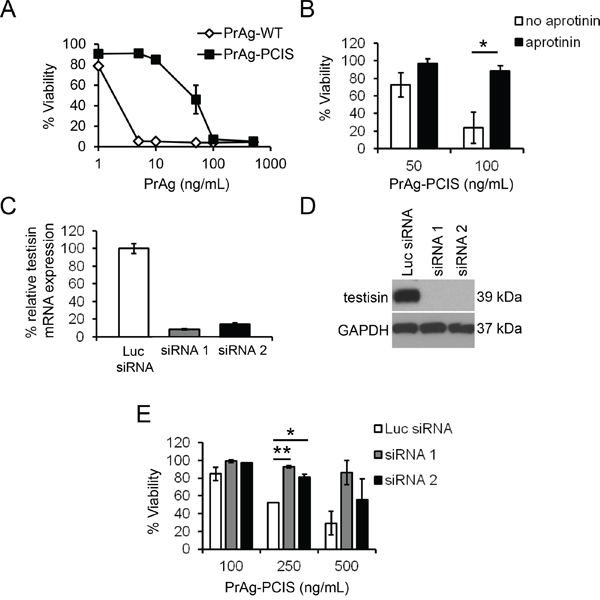 Endogenous testisin activity activates the PrAg-PCIS toxin and promotes HeLa tumor cell killing.