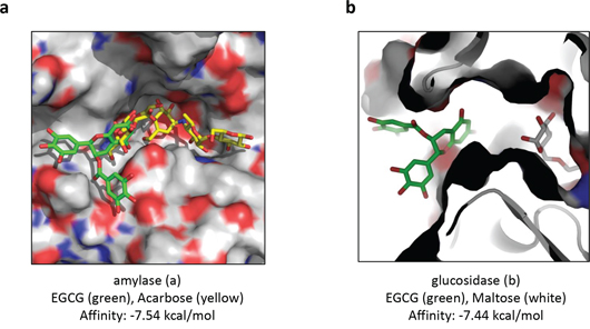 Predicted binding modes of EGCG docked with the X-ray structure of human salivary α-amylase and with the homology model of α-glucosidase from baker's yeast.