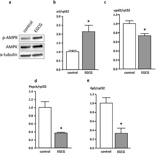 Protein (a) and mRNA (b-e) levels of genes involved in energy homeostasis in Drosophila melanogaster.