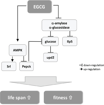 Schematic summary of the postulated mechanism how EGCG mediates lifespan extension and improved fitness in Drosophila melanogaster (for detailed description see text).