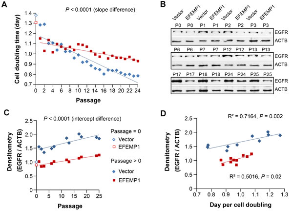 EFEMP1 suppressed the growth of STIC by suppressing the increase of EGFR.