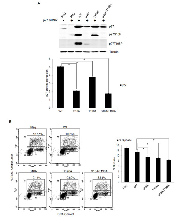 Phosphorylation of p27 was important for S-phase entry in E7 expressing quiescent cells.