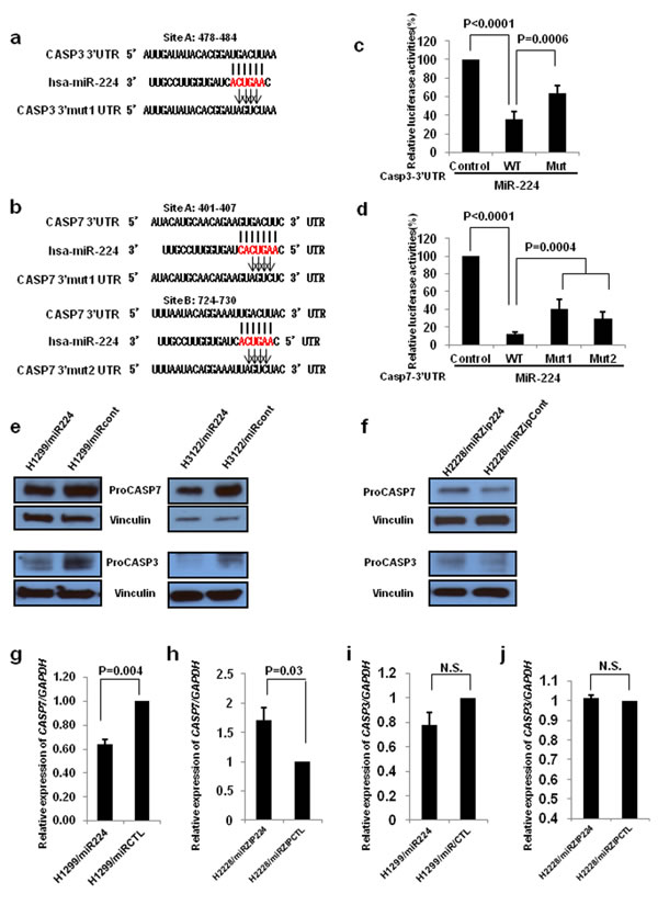 CASP3 and CASP7 are direct targets of