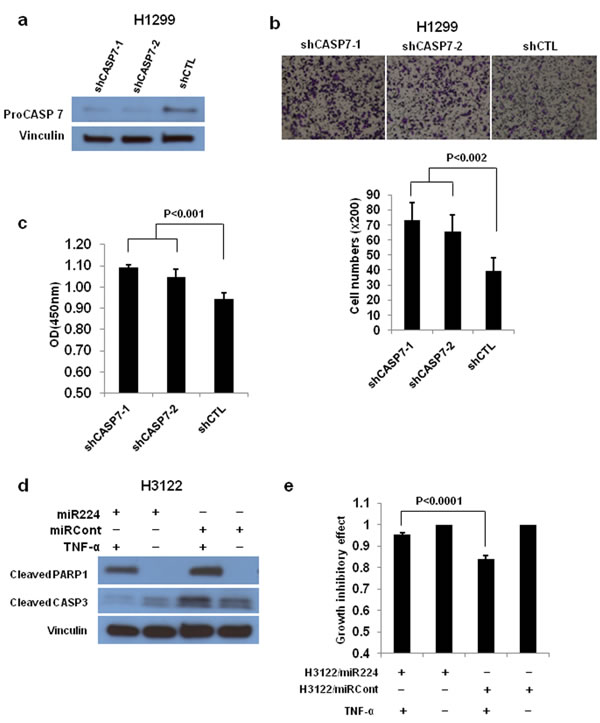 CASP3 and CASP7 have a essential role in miR-224 induced cell growth and migration.