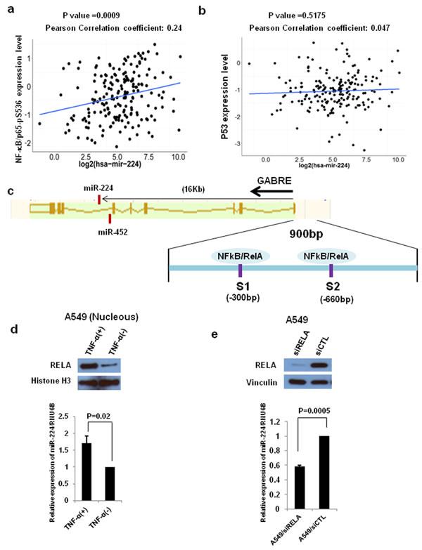 NF-kB signaling regulates miR-224 expression.
