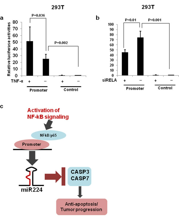 miR-224 promoter luciferase assays.