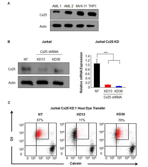 Targeting Cx25 by RNAi decreases cell-cell communication.
