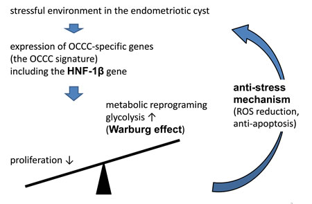 Mechanism that OCCC cope with environmental oxidative stress.