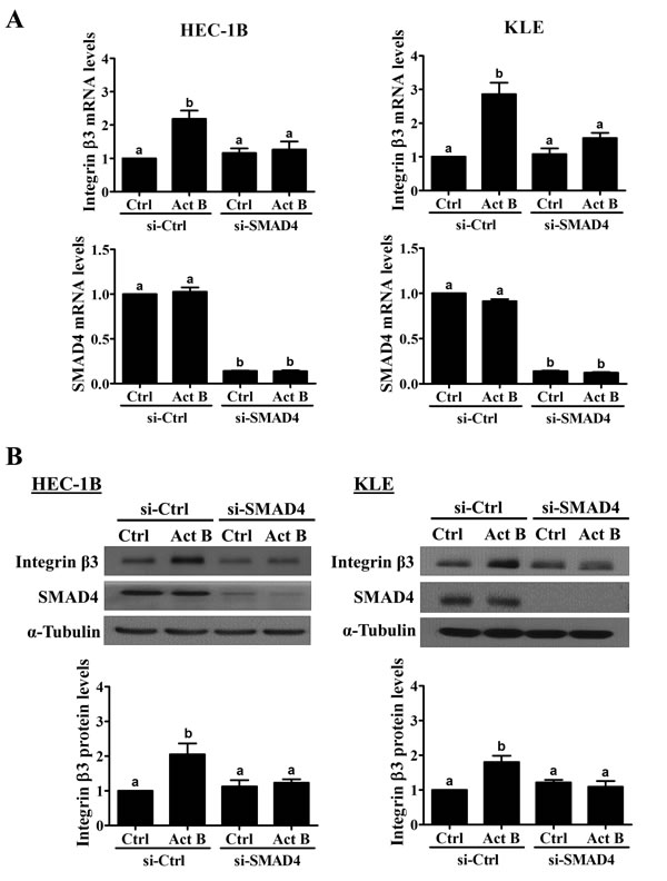 SMAD4 is required for the up-regulation of integrin β3 by activin B.