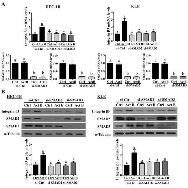 SMAD2 and SMAD3 are required for the up-regulation of integrin β3 by activin B.