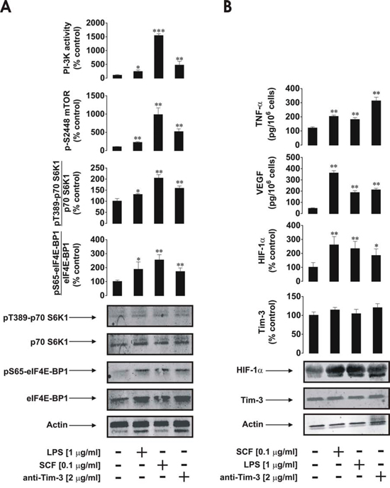 Anti-Tim-3 agonistic antibody induces mTOR activity, HIF-1α accumulation as well secretion of VEGF and TNF-α in primary human AML cells.