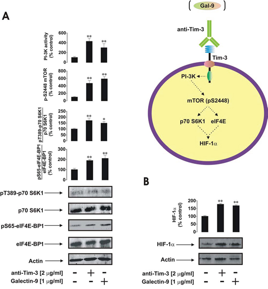 Anti-Tim-3 and galectin-9 induce similar responses in primary human AML cells.