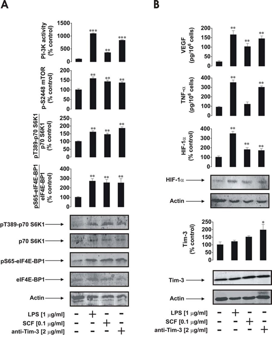 Anti-Tim-3 induces mTOR activity, HIF-1α accumulation as well secretion of VEGF and TNF-α in primary human healthy leukocytes.
