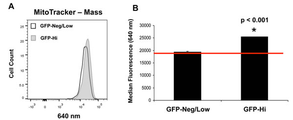 hTERT-eGFP-high MCF7 cells show an increase in mitochondrial mass.
