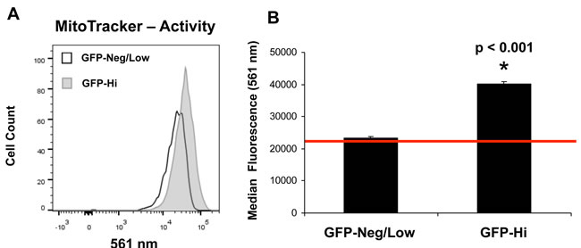 hTERT-eGFP-high MCF7 cells show an increase in mitochondrial activity.