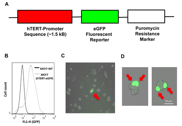 Generation of MCF7 cells harboring the hTERT-eGFP reporter, to select a sub-population of cells with high telomerase activity.