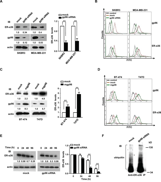 mgp96 upregulates the expression and stability of ER-α36 protein.