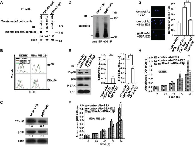 A gp96 mAb blocks the mgp96-ER-α36 interaction, decreases cell membrane ER-α36 levels, and suppresses growth and invasion of breast cancer cells.