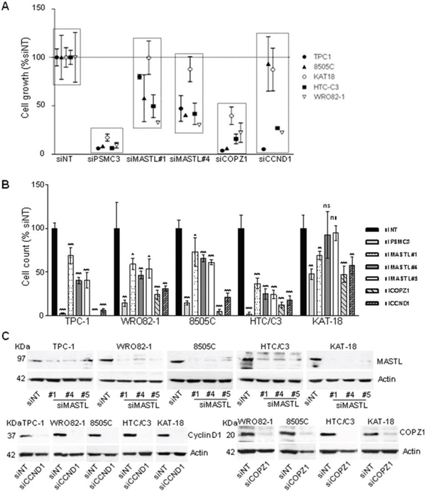 Effect of CCND1, MASTL and COPZ1 silencing on different thyroid tumor cell lines.