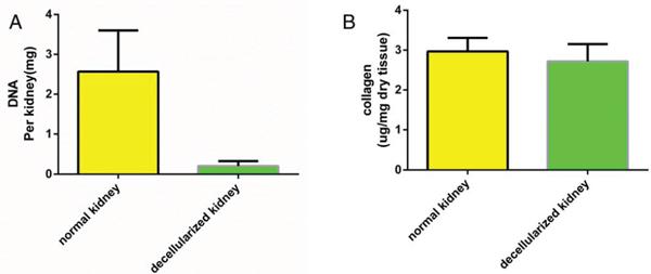 Quantitative assay of DNA and collagen content.