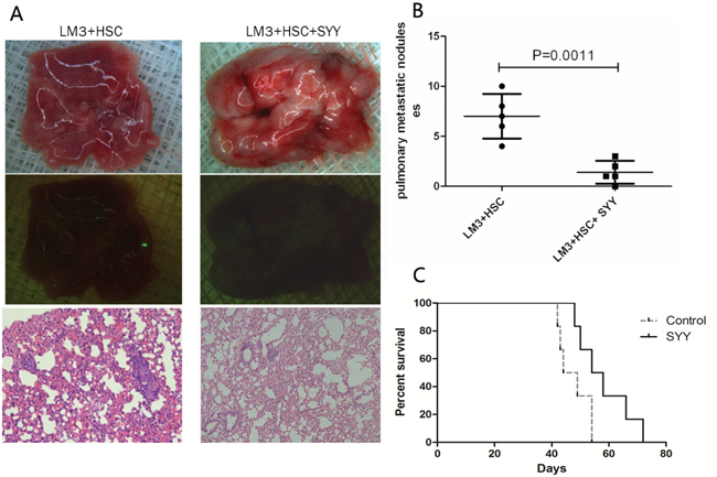 Reduced lung metastasis and prolonged survival were found in the orthotopic nude mouse models with cirrhosis background after treatment with SYY.