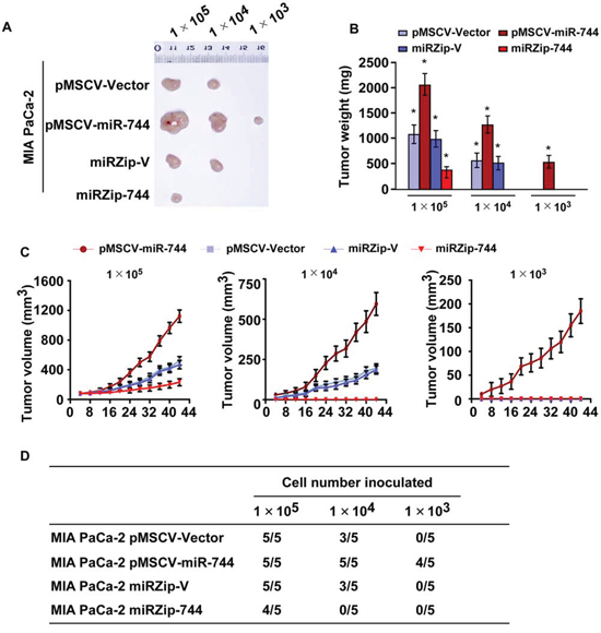 Upregulation of miR-744 promotes tumorigenicity of pancreatic cancer cells in vivo.