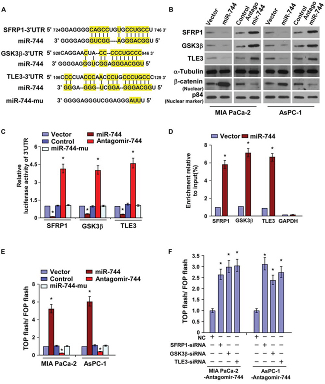 MiR-744 directly targets SFRP1, GSK3β and TLE3.