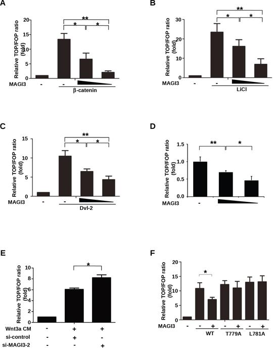 MAGI3 inhibits β-catenin transcriptional activity.