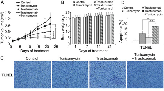 Antitumor effects of combined treatment of trastuzumab with tunicamycin in the nude mice xenograft model.