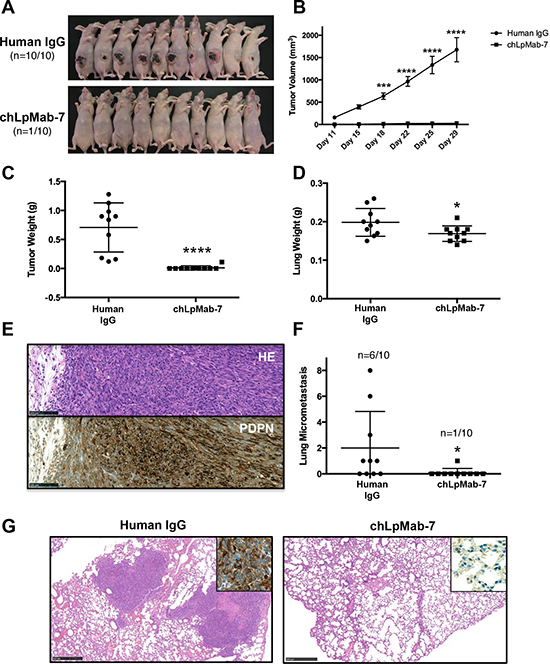 Anti-tumor effect of chLpMab-7 on primary tumor development and spontaneous lung metastasis in nude mice inoculated with hPDPN-expressing cells.