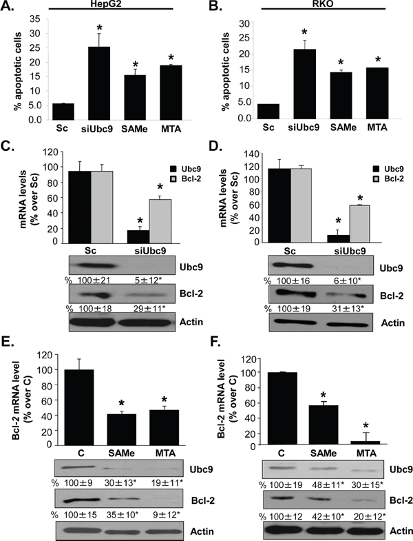 Ubc9 knockdown, SAMe and MTA treatment induce apoptosis and lower Bcl-2 expression in HepG2 and RKO cells.