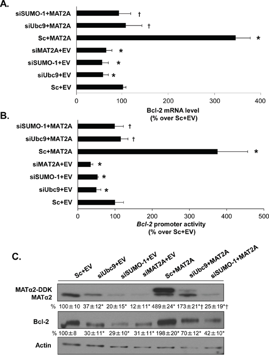 MAT2A and sumoylation machinery regulate Bcl-2 expression in HepG2 cells.