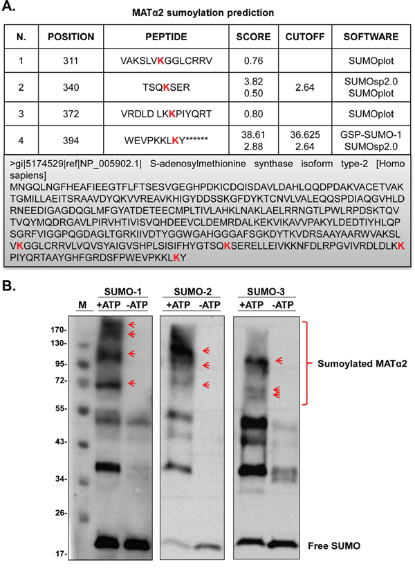 SUMO-binding prediction of MATα2 and in vitro sumoylation.