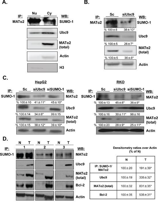 MATα2 is sumoylated in HepG2 and RKO cells and human colon cancers.