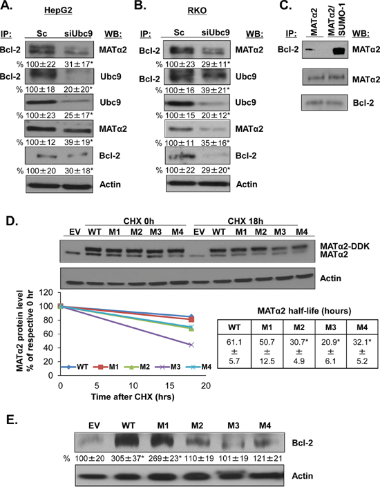 MATα2 directly interacts with Bcl-2 and mutation at MATα2 SUMO-binding sites affects MATα2 stability and Bcl-2 protein level.
