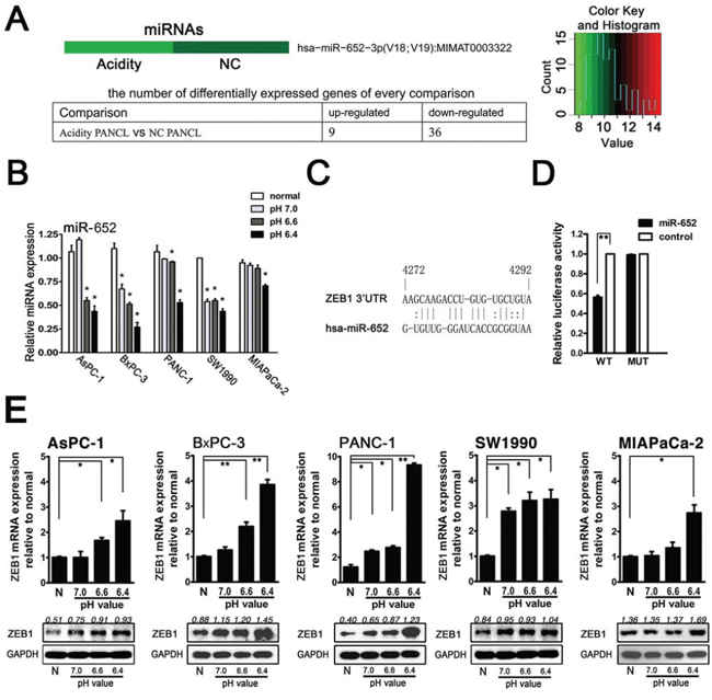 Acidity induced miR-652 downregulation and its direct target ZEB1 upregulation in pancreatic cancer cells.