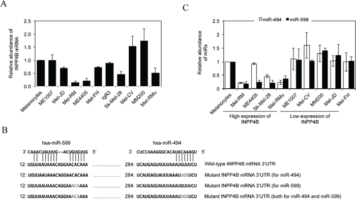 Upregulation of INPP4B in melanoma cells is associated with loss of miR-494 and/or miR-599.