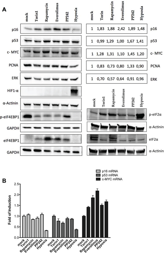 Endogenous p16INK4a is controlled via a post-transcriptional mechanism in melanoma cells.