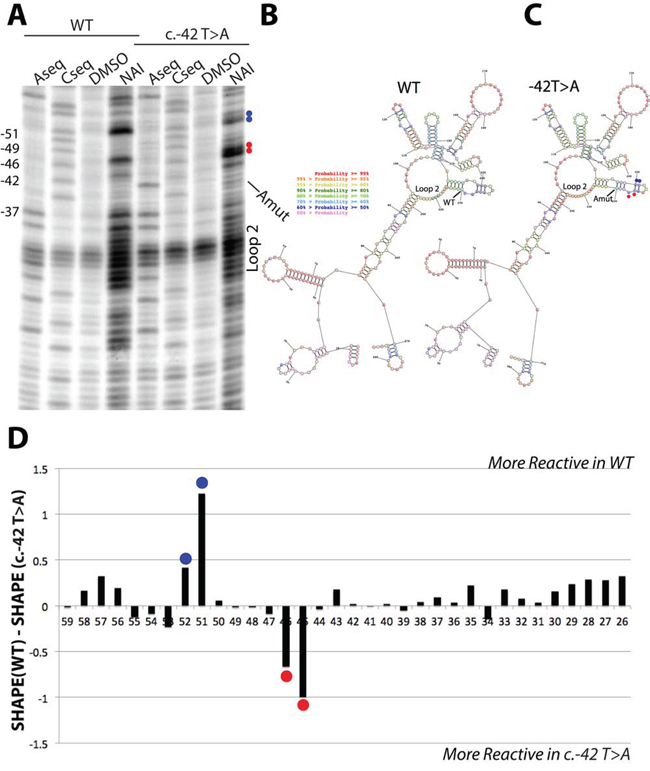 SHAPE analysis of wild type and c.-42T>A p16 5′UTR RNA structures.