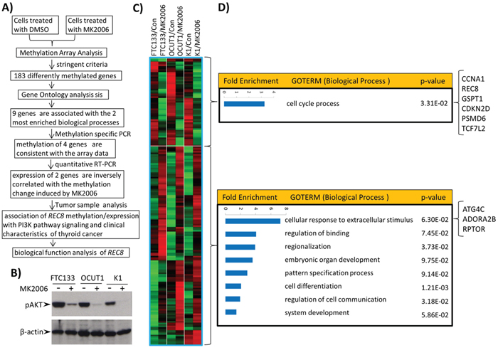 Genome-wide screening of candidate genes regulated by the PI3K/AKT pathway through aberrant gene methylation in thyroid cancer cells and functional annotation of these genes.