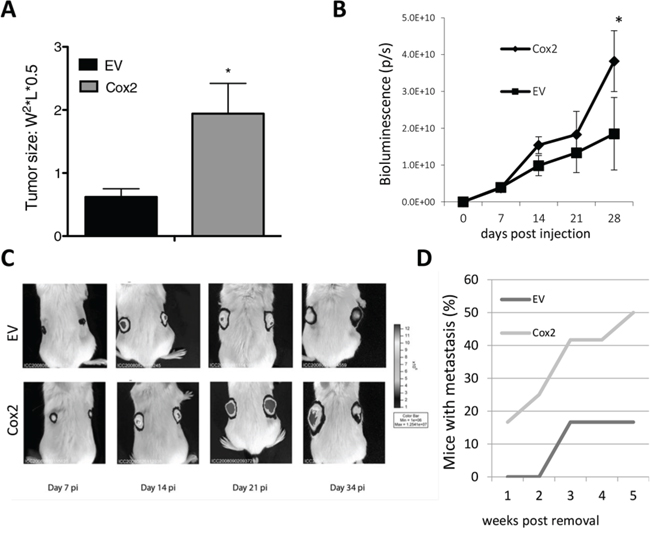 COX2 overexpression increases tumor growth capacity and metastasis of HT29 cells in nude and SCID mice.