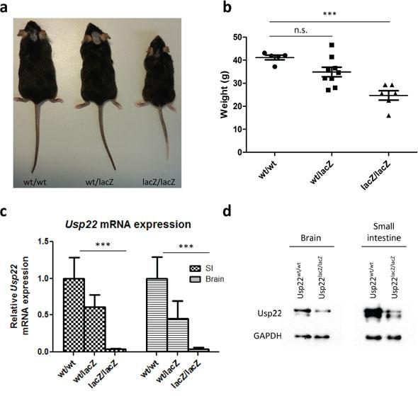 Phenotype of adult Usp22lacZ mice.